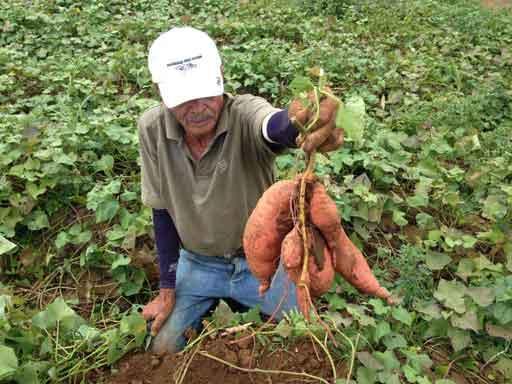 Cultivo de Camote para Exportación Sweet potato